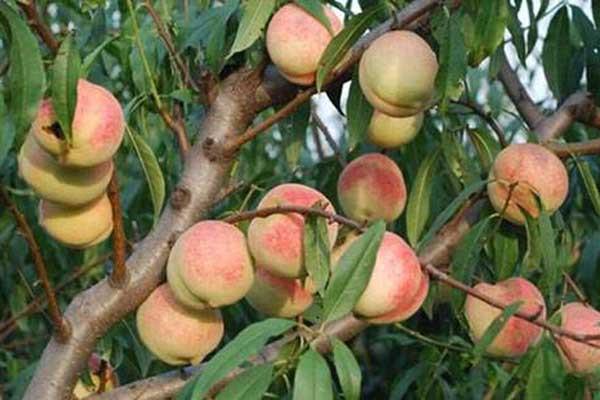 村书记带头种植桃树,投入近380万,打造出了美丽乡村示范村荣誉称号!
