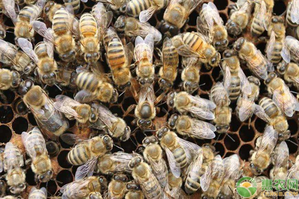 蜜蜂弱蜂变强蜂方法