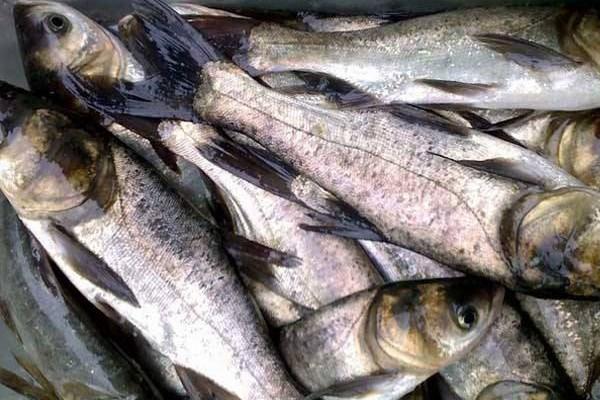 现在农村餐桌上很少看到鲢鱼?可能是这4点原因