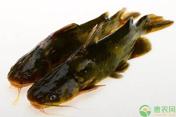 黄颡鱼鱼苗前期预防些什么病_黄颡鱼的养殖方法_黄颡鱼养殖周期