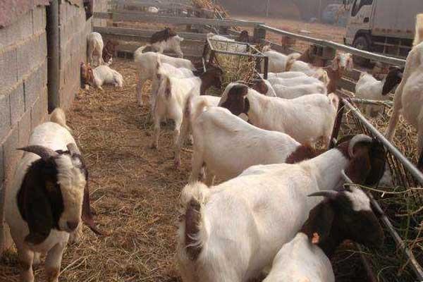 今日立冬活羊价格涨了吗?11月最新全国活羊报价汇总!