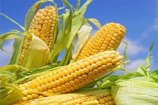 目前玉米价格走势如何?会一直上涨吗?(附今日最新玉米收购价行情)