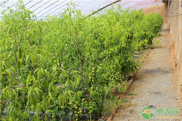冬枣的栽培技术