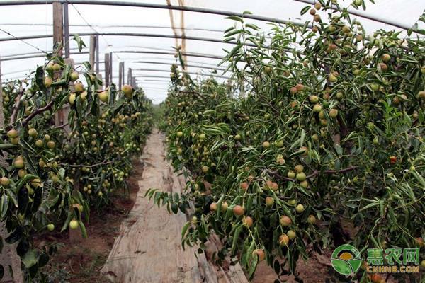冬枣的栽培技术及虫害预防