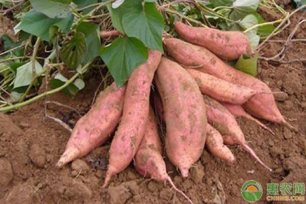 红薯高产种植要点