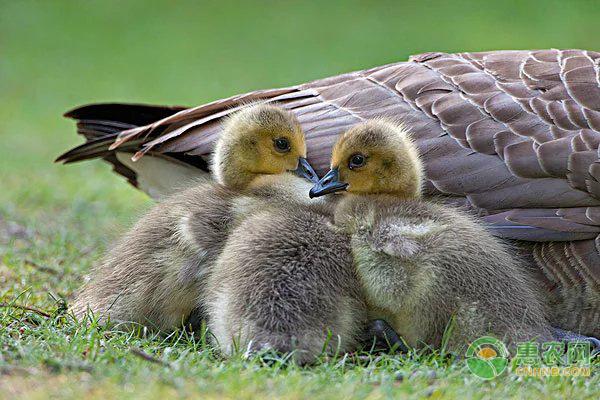 教你怎么分辨鹅的公母