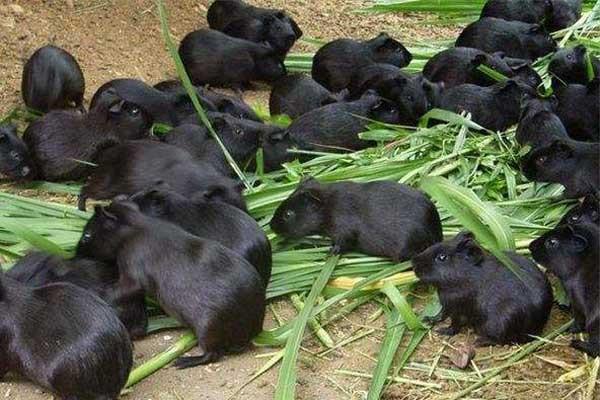 农业养殖如何出奇制胜?五个黑色养殖助你脱贫致富!