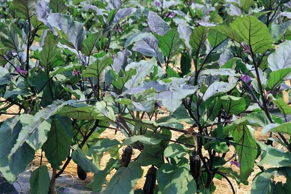 茄子秧不仅可以当柴烧,最主要是可以治冻疮,这个你知道吗?