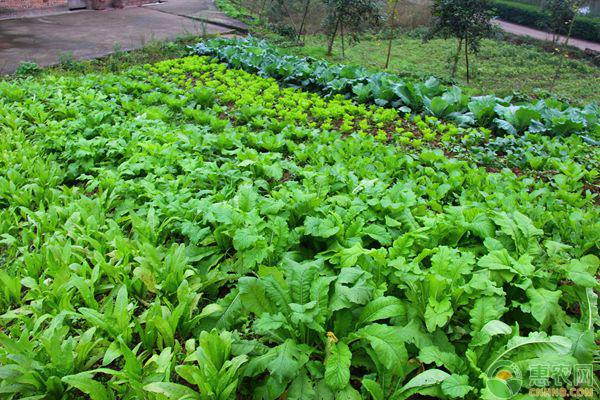 阴雨天蔬菜管理