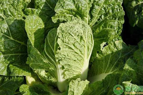 大白菜包心期做好这三个管理,品质及产量都会很可观!-阳台种菜