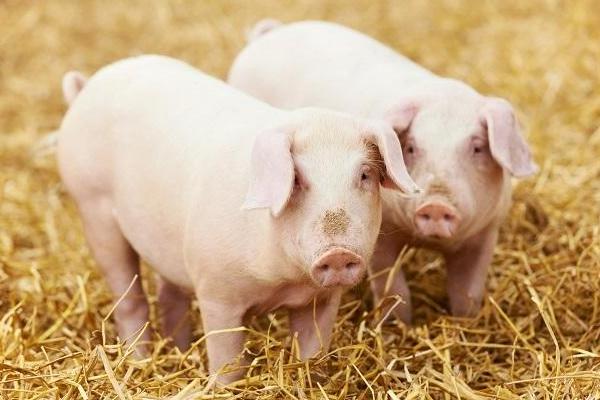 今日生猪多少钱一斤?2018全国最新生猪价格行情预测