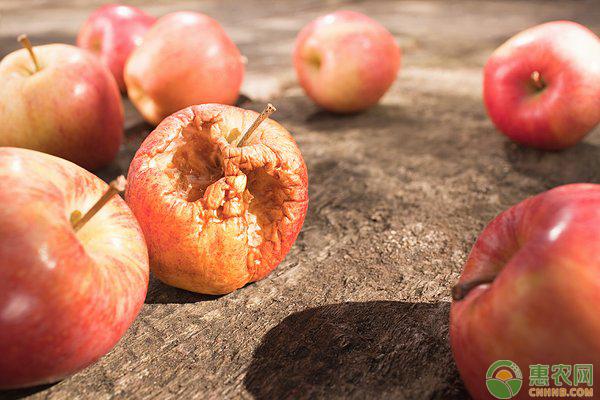 苹果腐烂病