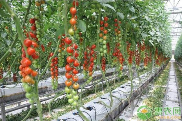 赣州市拱棚二膜番茄高效栽培管理技术
