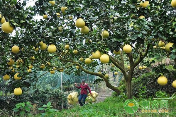 冬季柚子如何管理?掌握好这五点就可以