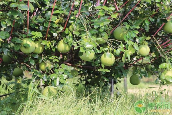 冬季柚子的管理