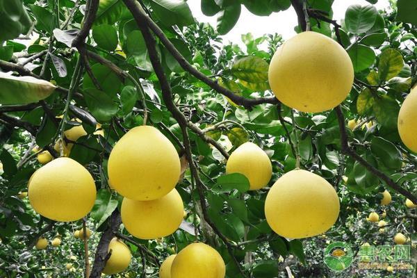 冬季柚子如何管理?