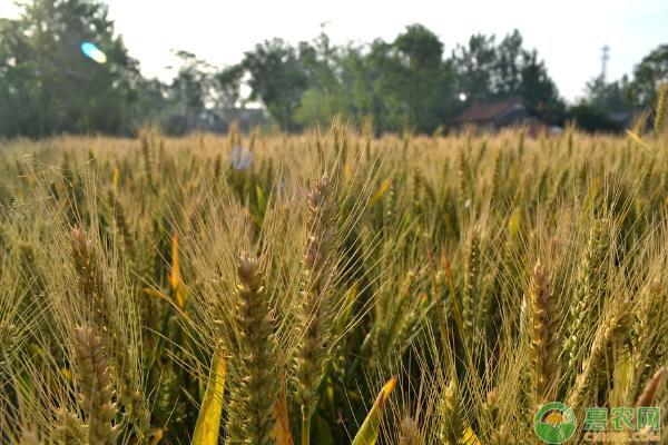 小麦病虫害农药防治