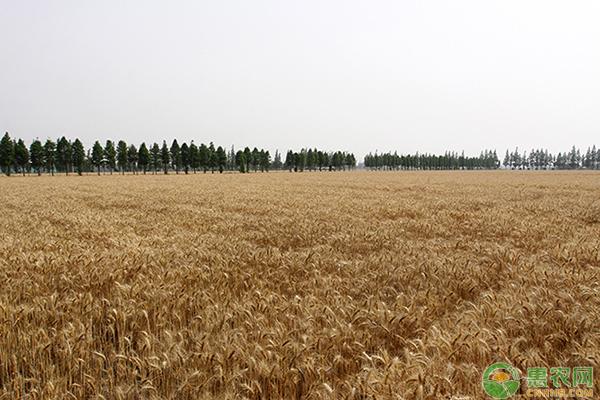 小麦病虫害