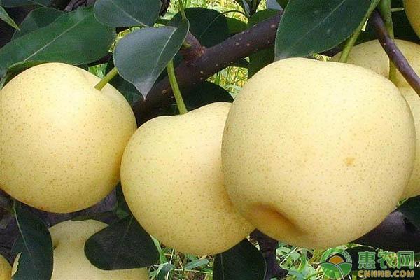 黄金梨主要病虫害的综合防治要点