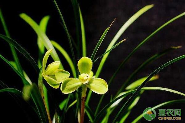 区分盆栽兰花自然倒叶与病害引起倒叶的方法