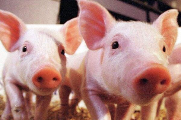 我国多个省市发生非洲猪瘟疫情,我们能从中学到什么?