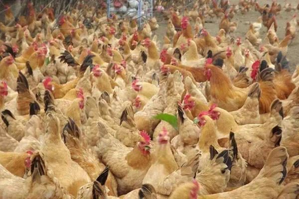 今日淘汰鸡多少钱一斤?2018全国最新淘汰鸡价格行情