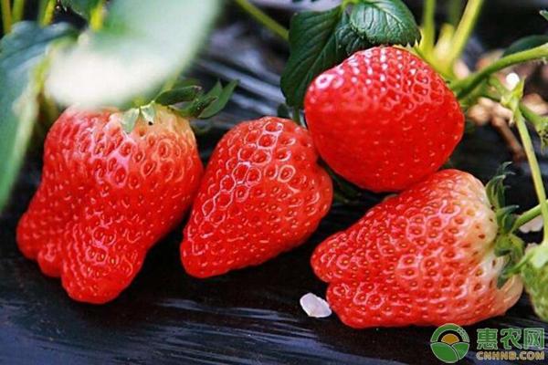 甜查理草莓的品种特性及栽培技术要点