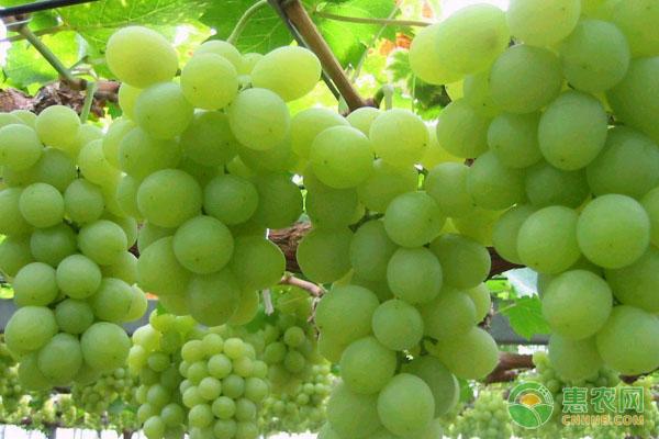北方地区阳光玫瑰葡萄高产栽培技术