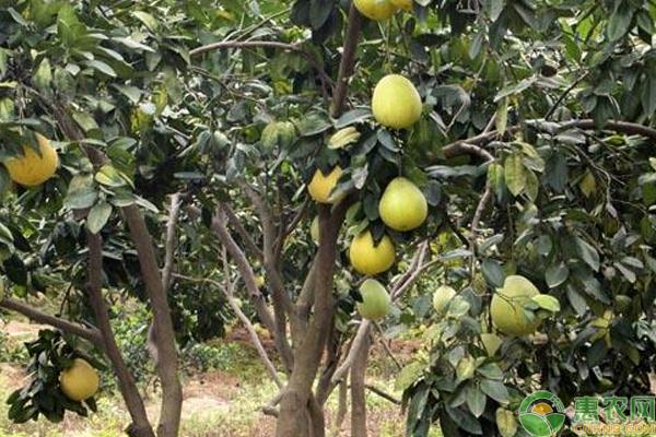柚子的高产施肥方法及注意事项