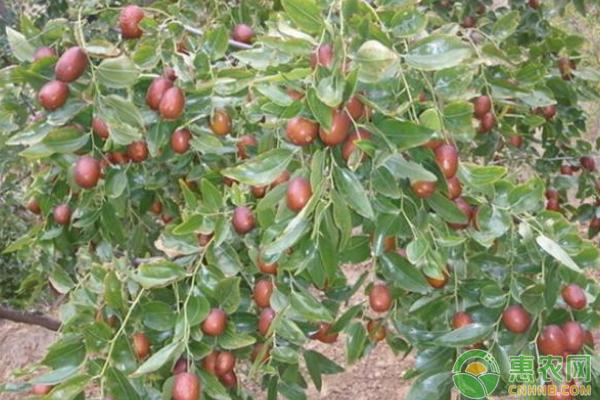 红枣黑腐病防治