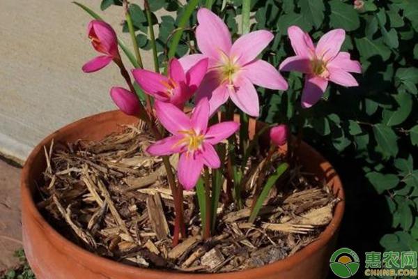 韭兰冬季养护方法