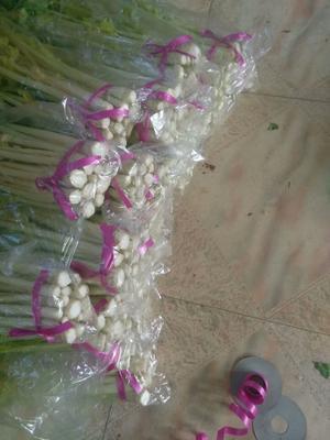 山东省青岛市平度市马家沟芹菜 55~60cm 露天种植 1.5~2.0斤