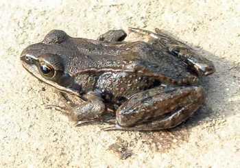 吉林通化辉南县黑斑蛙