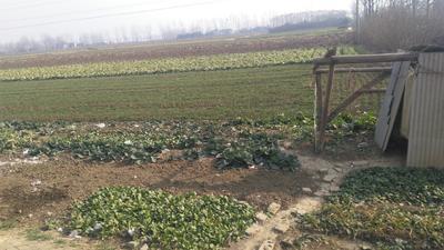 河南省南阳市新野县铁头圆包菜 3.5~4.0斤