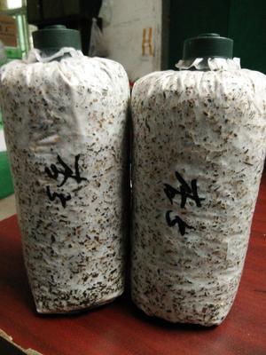 湖北武汉洪山区杏鲍菇栽培种 0.8% 一级