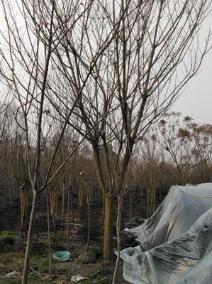 四川成都都江堰市中国红樱 6~8公分 3.5米~5米