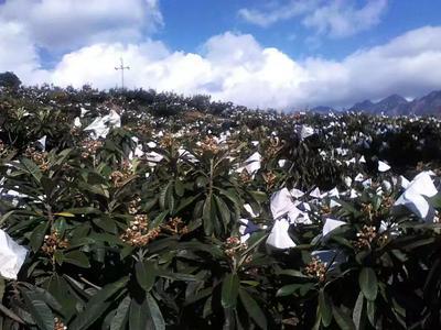 四川攀枝花东区米易枇杷 0.4 - 0.7两