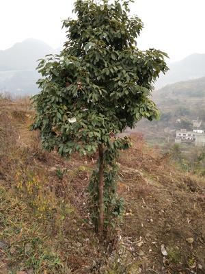 贵州六盘水六枝特区油樟苗子