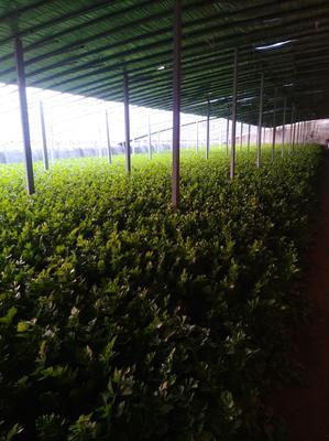 山东省济南市商河县加州王芹菜 60cm以上 大棚种植 1.0~1.5斤