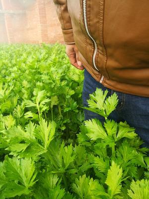 河南省平顶山市舞钢市玻璃脆芹菜 55~60cm 大棚种植 0.5~1.0斤