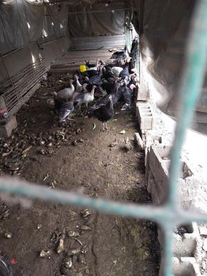 安徽宿州埇桥区青铜火鸡 15-20斤