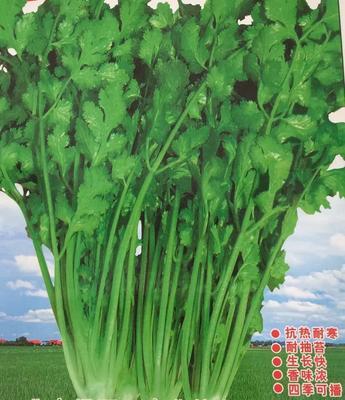 北京海淀香菜种子