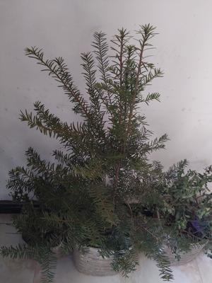 河南三门峡卢氏县野生红豆杉 0.5~1米
