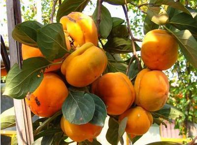 日本斤柿子树苗