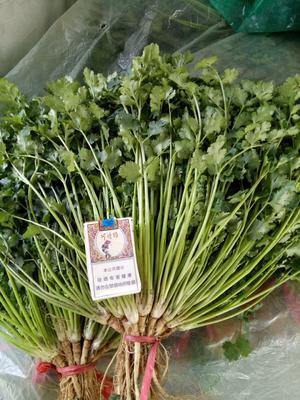 山东省潍坊市坊子区铁杆青香菜 20~25cm