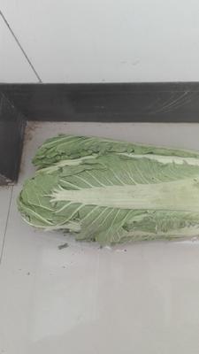 河北省唐山市玉田县北京三号大白菜 3~6斤 净菜