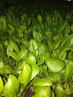 黑龙江省齐齐哈尔市梅里斯达斡尔族区小叶菠菜 20~25cm