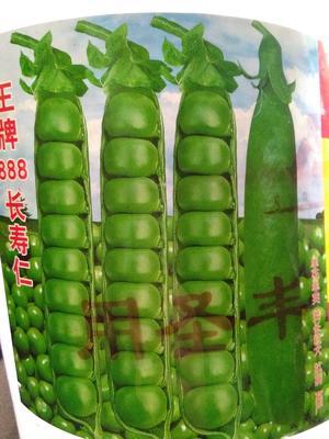 云南昭通昭阳区长寿仁豌豆 5-7cm 饱满