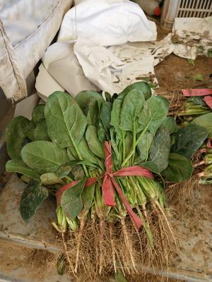 河南省安阳市滑县小叶菠菜 20~25cm