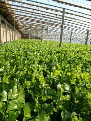 山东省临沂市沂水县玻璃脆芹菜 60cm以上 大棚种植 0.5斤以下